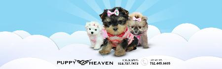 Puppy Heaven- Teacup & Toy Puppies for Sale - Agoura Hills, CA 91301 - (818)757-7473 | ShowMeLocal.com