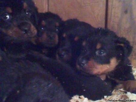 Diamond Puppies - Greensboro, NC 27401 - (804)238-9197 | ShowMeLocal.com